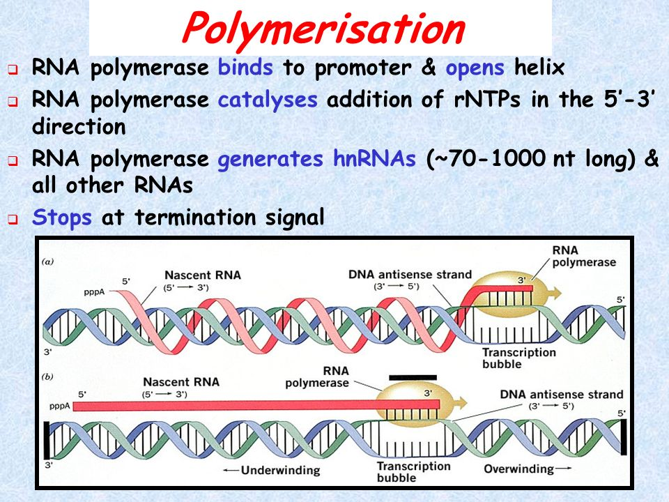 Polymerisation RNA polymerase binds to promoter & opens helix