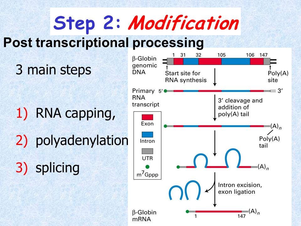 Step 2: Modification Post transcriptional processing 3 main steps