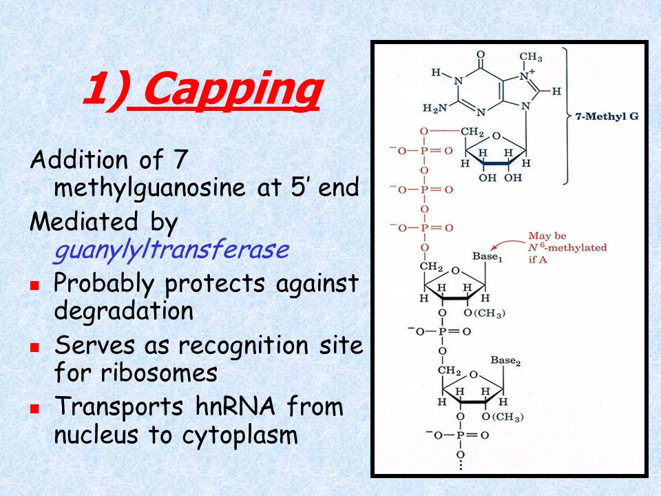 1) Capping Addition of 7 methylguanosine at 5' end