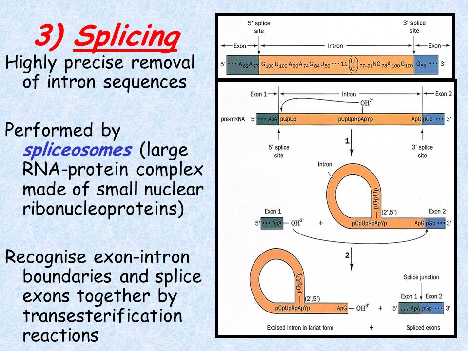 3) Splicing Highly precise removal of intron sequences