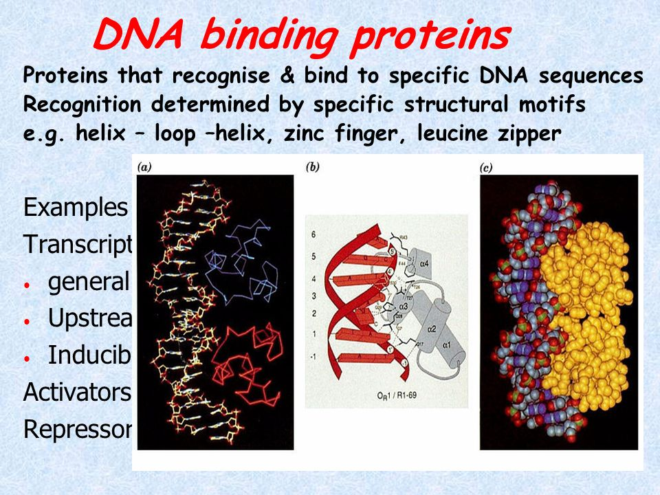 DNA binding proteins Examples include Transcription factors