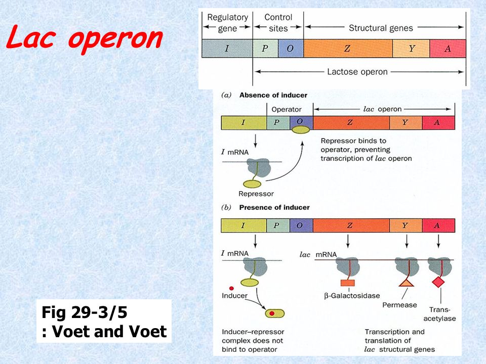 Lac operon Fig 29-3/5 : Voet and Voet