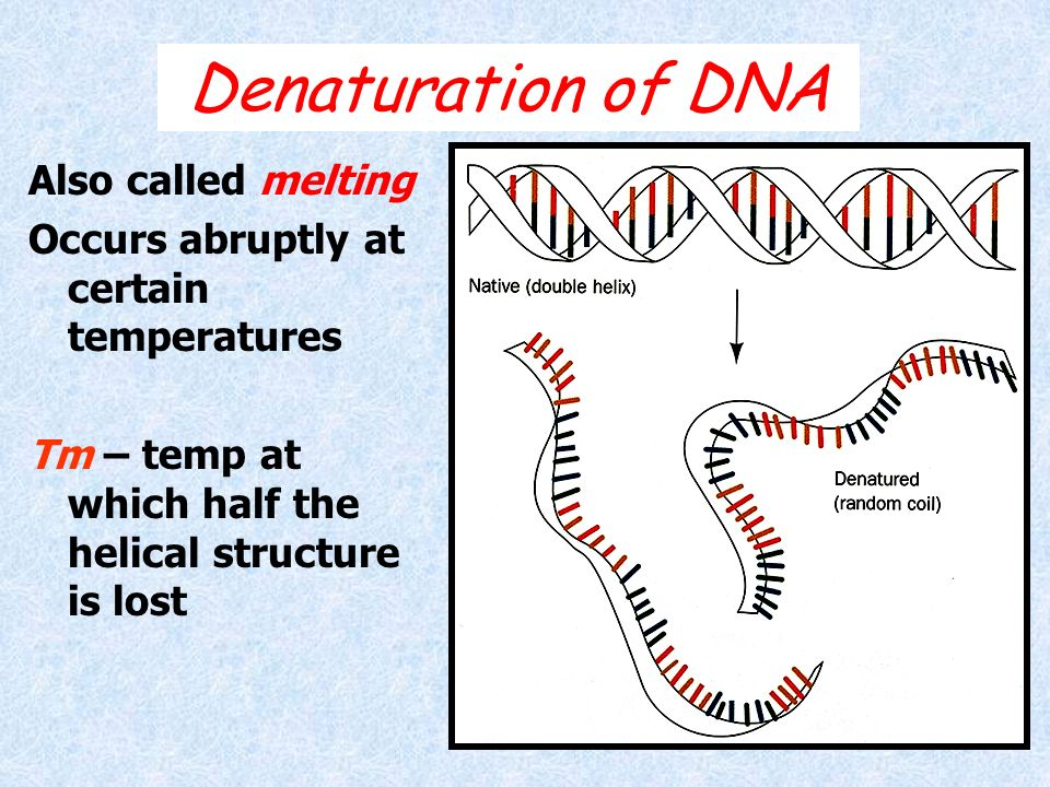 Denaturation of DNA Also called melting