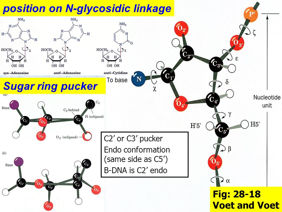 position on N-glycosidic linkage