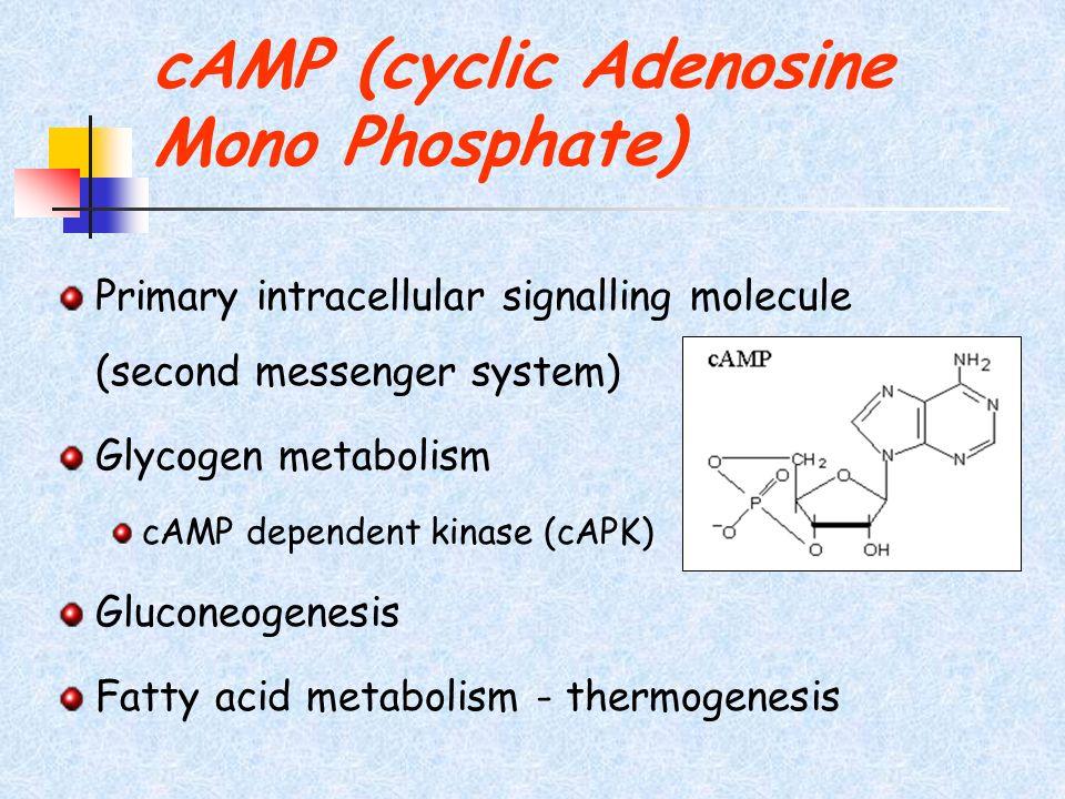 cAMP (cyclic Adenosine Mono Phosphate)