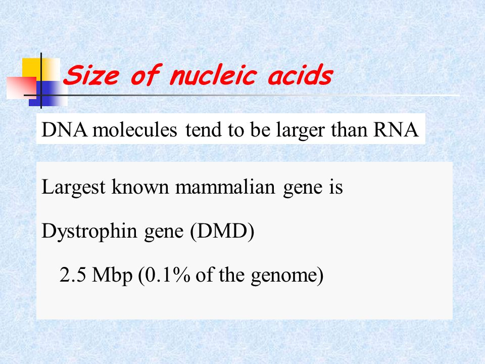 Size of nucleic acids DNA molecules tend to be larger than RNA