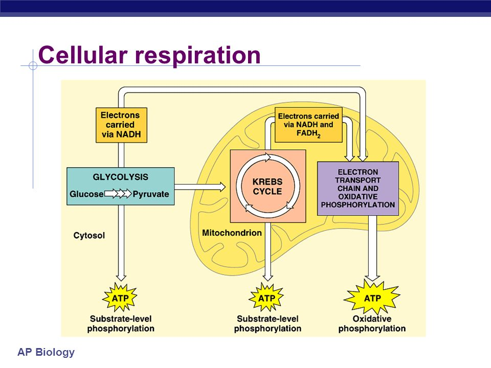 Electron Transport Chain Cellular Respiration Simple