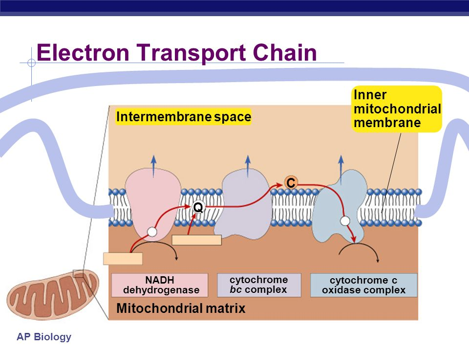 cellular respiration stage 4 electron transport chain ppt download. Black Bedroom Furniture Sets. Home Design Ideas