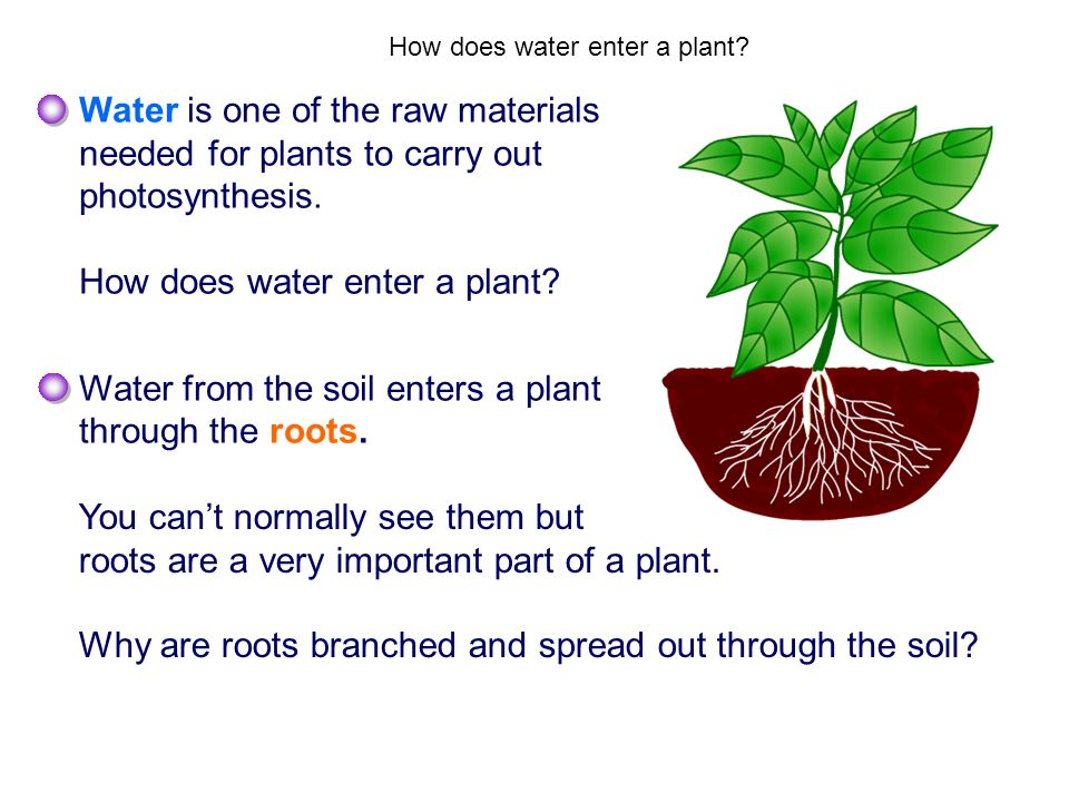 How does water enter a plant