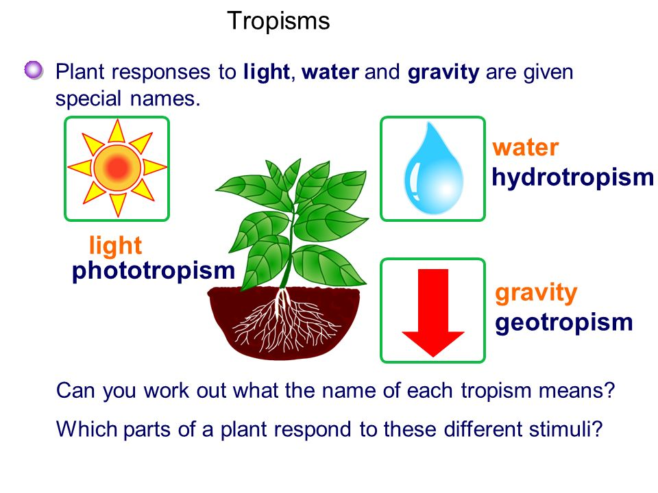 Tropisms water hydrotropism light phototropism gravity geotropism