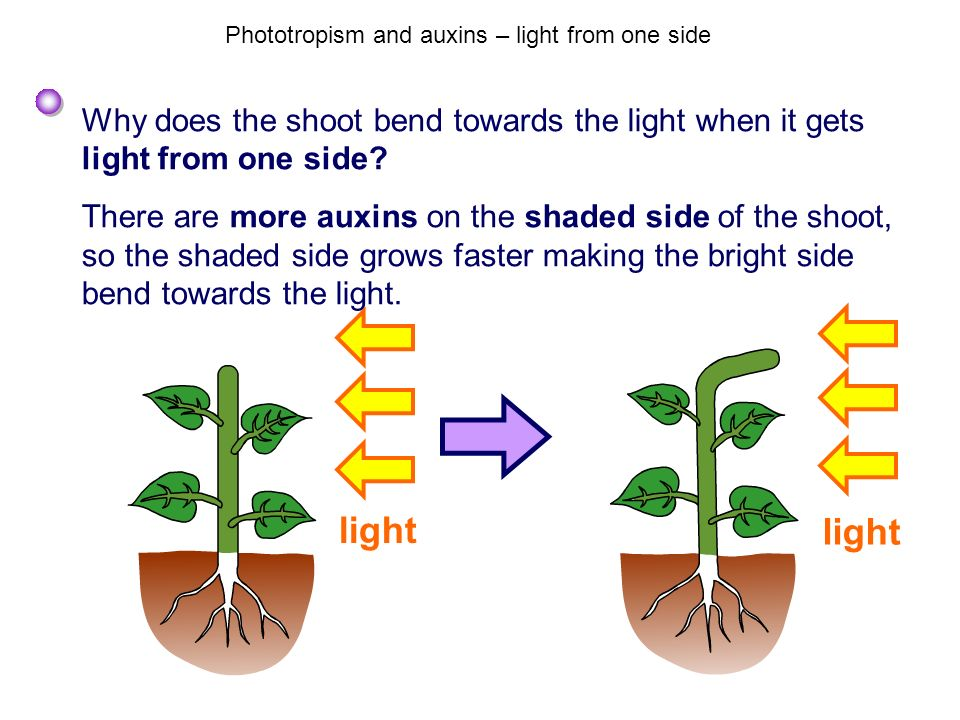 Phototropism and auxins – light from one side