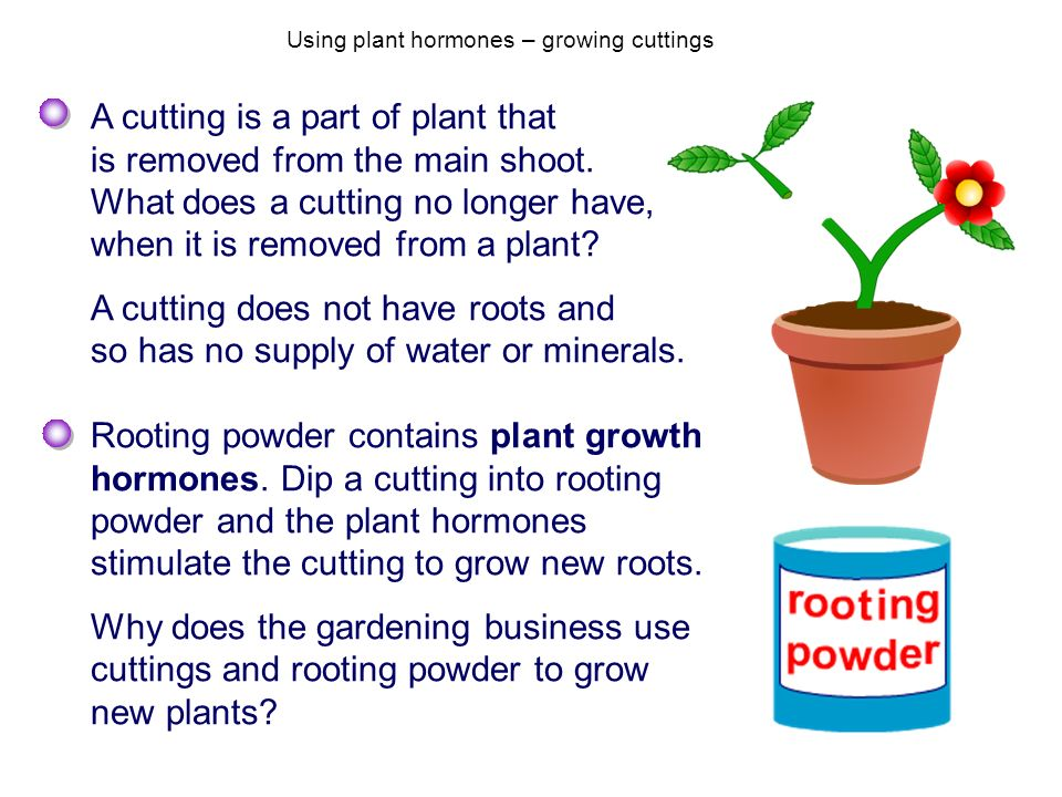 Using plant hormones – growing cuttings
