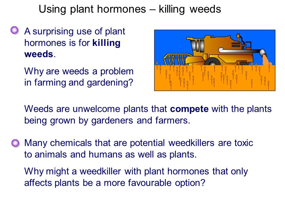 Using plant hormones – killing weeds