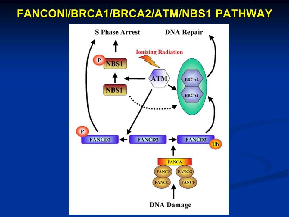 FANCONI/BRCA1/BRCA2/ATM/NBS1 PATHWAY