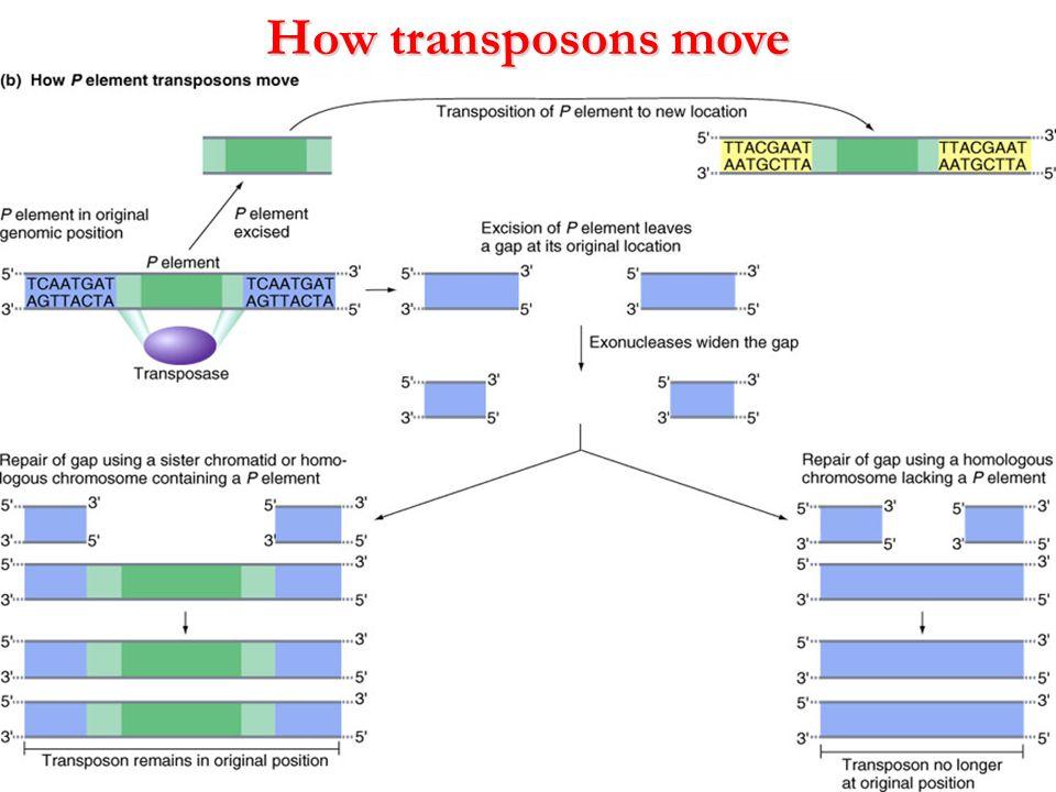 How transposons move Figure 13.24 b