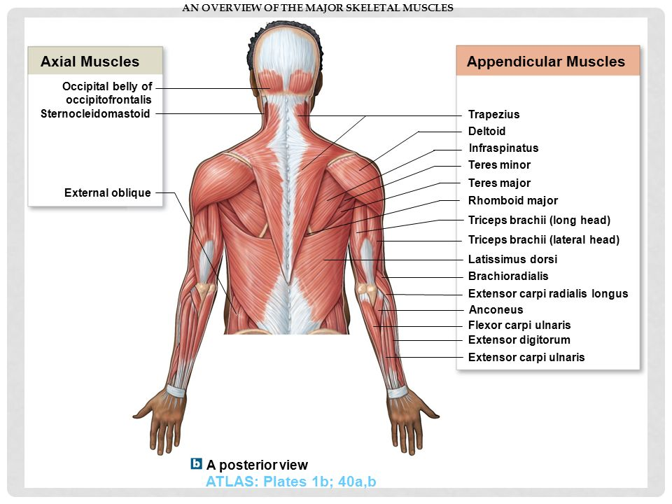 Anterior Neck Anatomy Diagram Toyskids