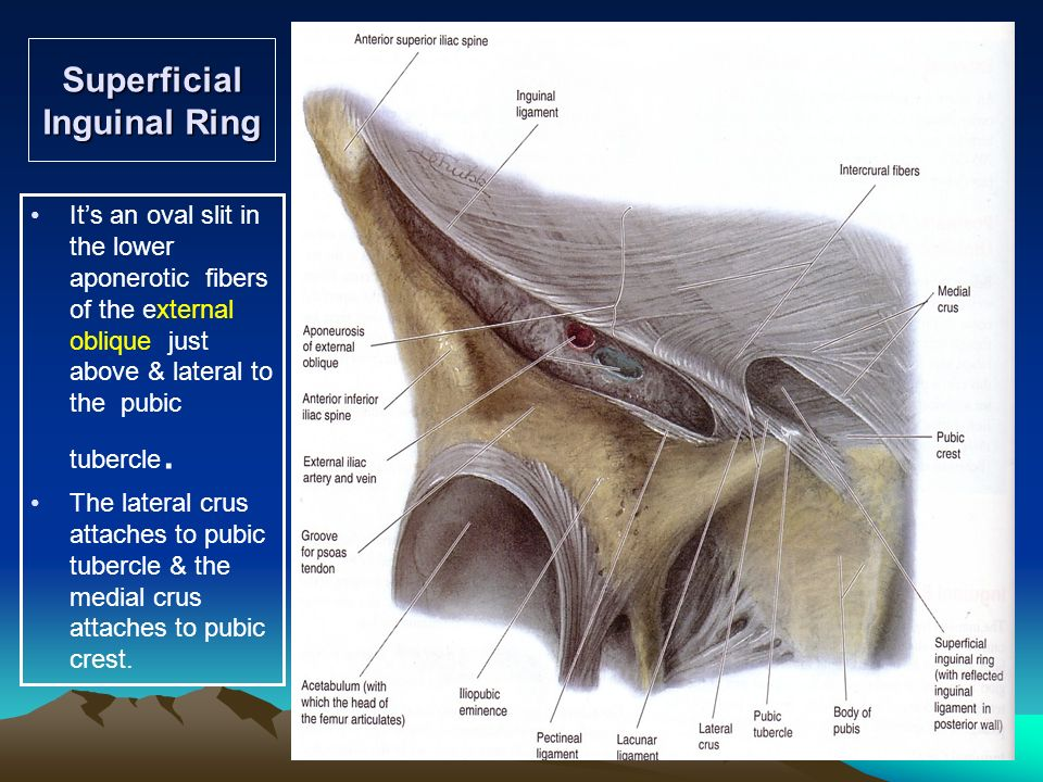 Anterolateral Abdominal Wall And - ppt video online download