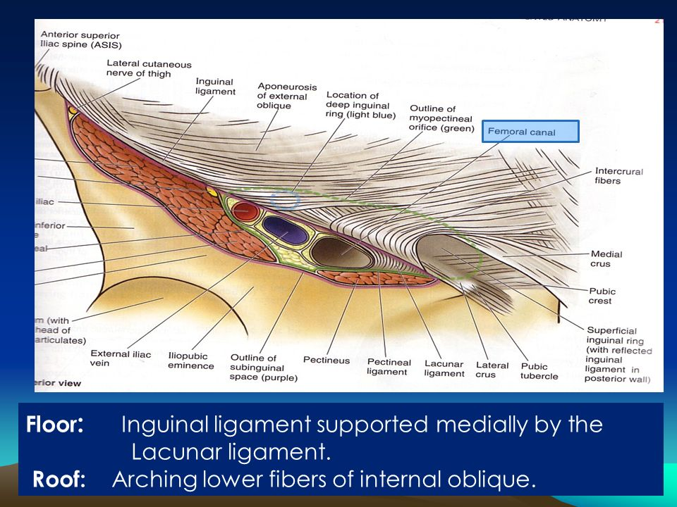 lacunar ligament - photo #12