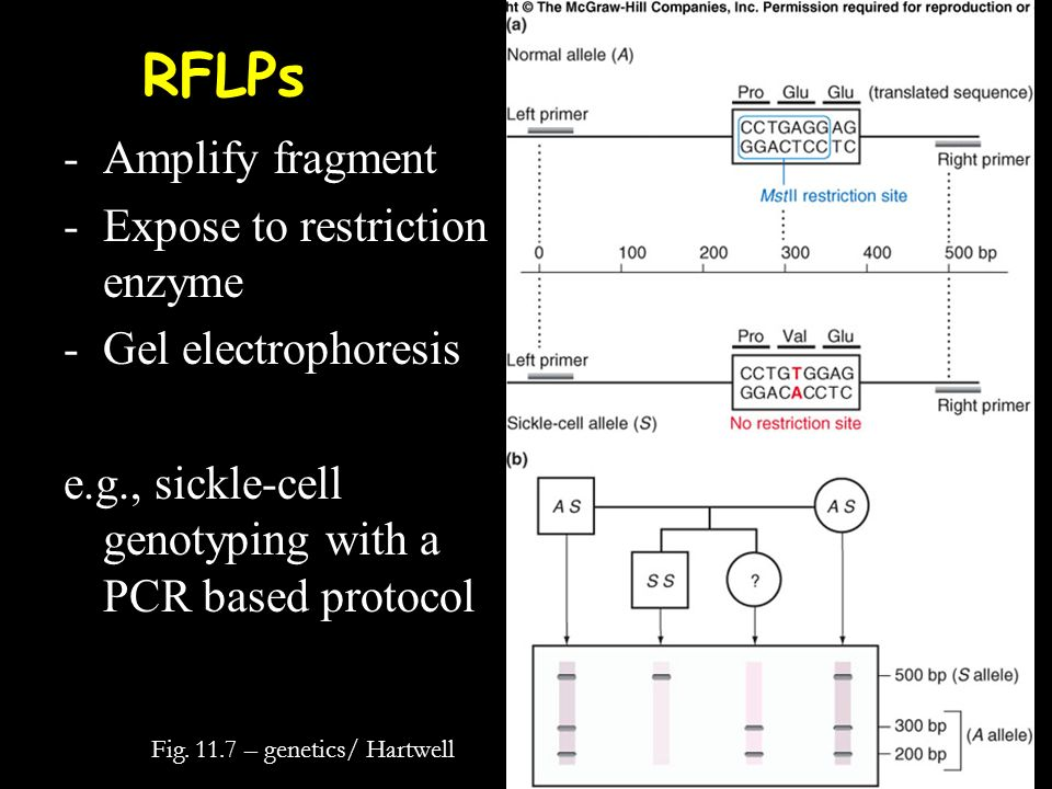 RFLPs Amplify fragment Expose to restriction enzyme