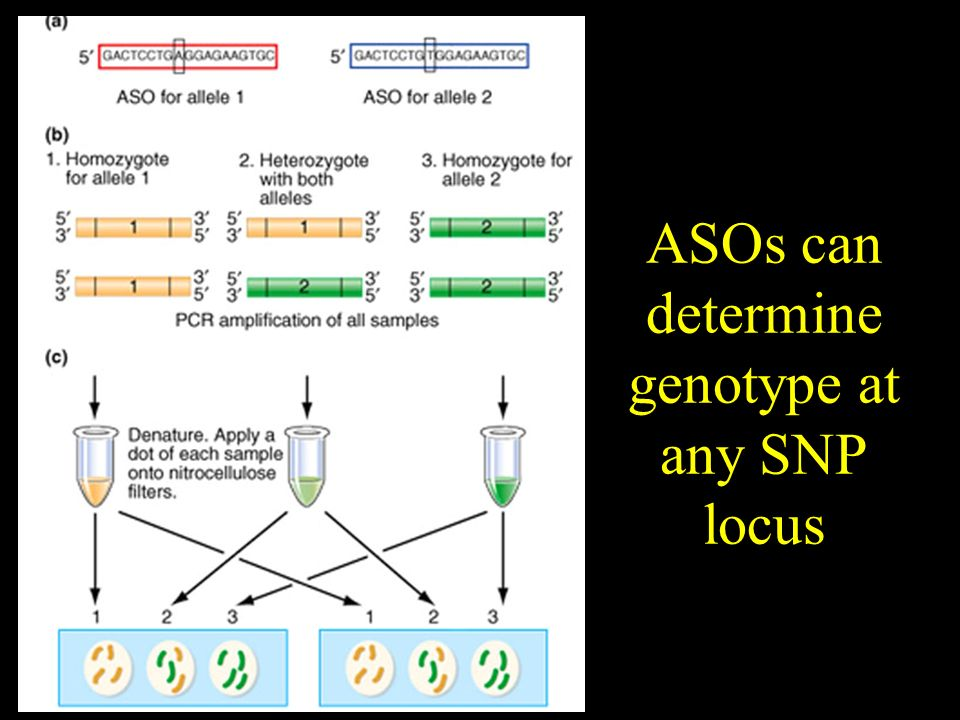 ASOs can determine genotype at any SNP locus