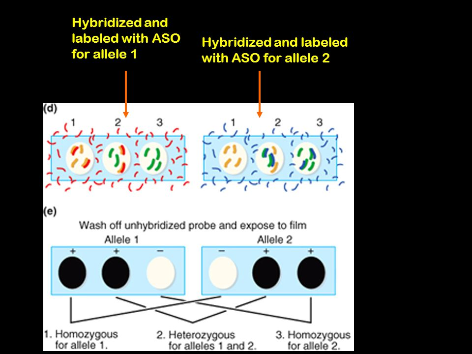 Hybridized and labeled with ASO for allele 1