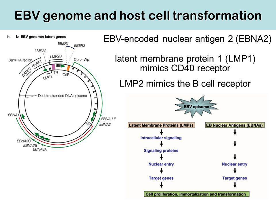 EBV genome and host cell transformation