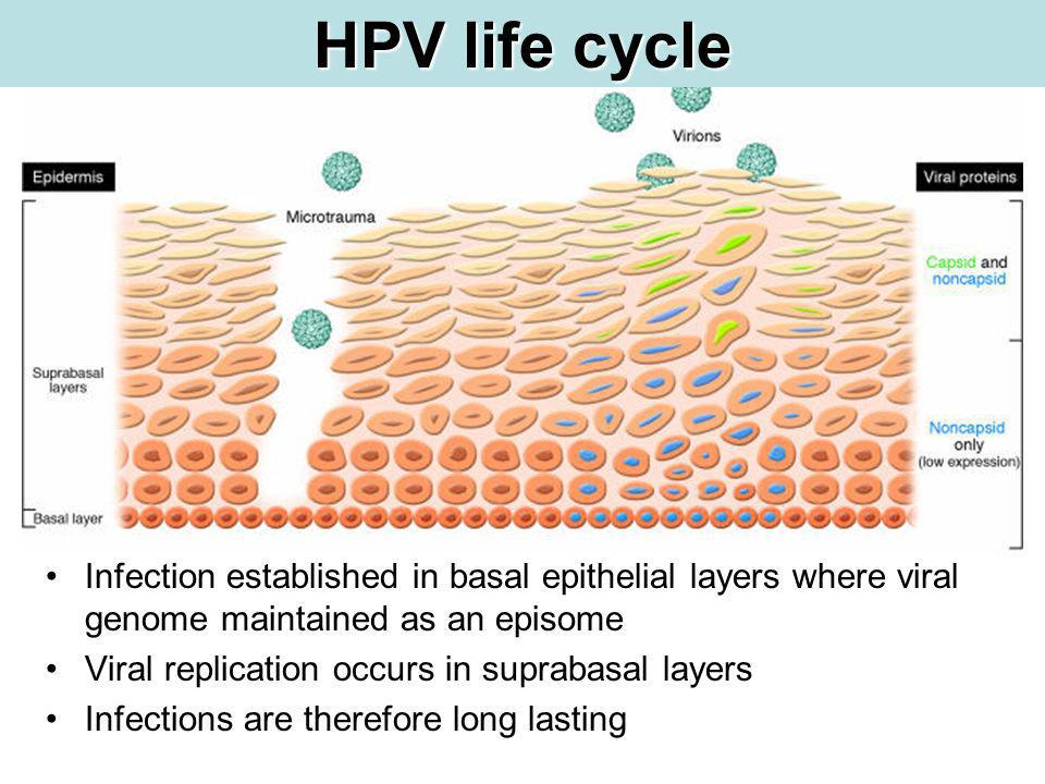 HPV life cycle