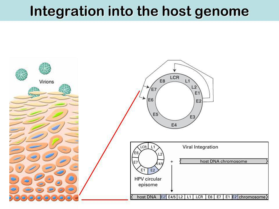 Integration into the host genome