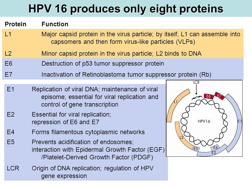 HPV 16 produces only eight proteins