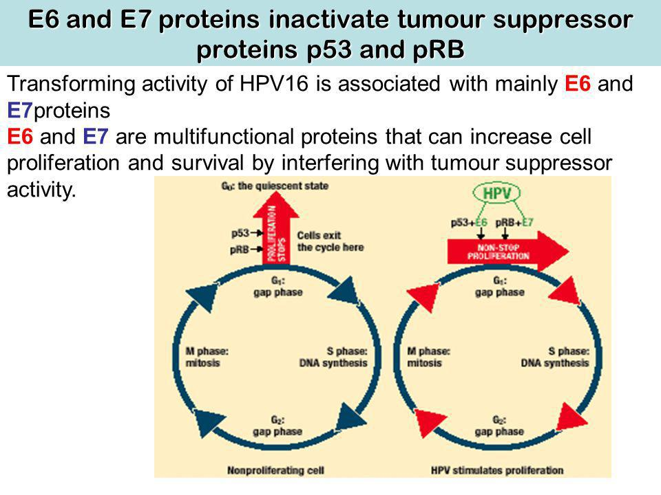 E6 and E7 proteins inactivate tumour suppressor proteins p53 and pRB