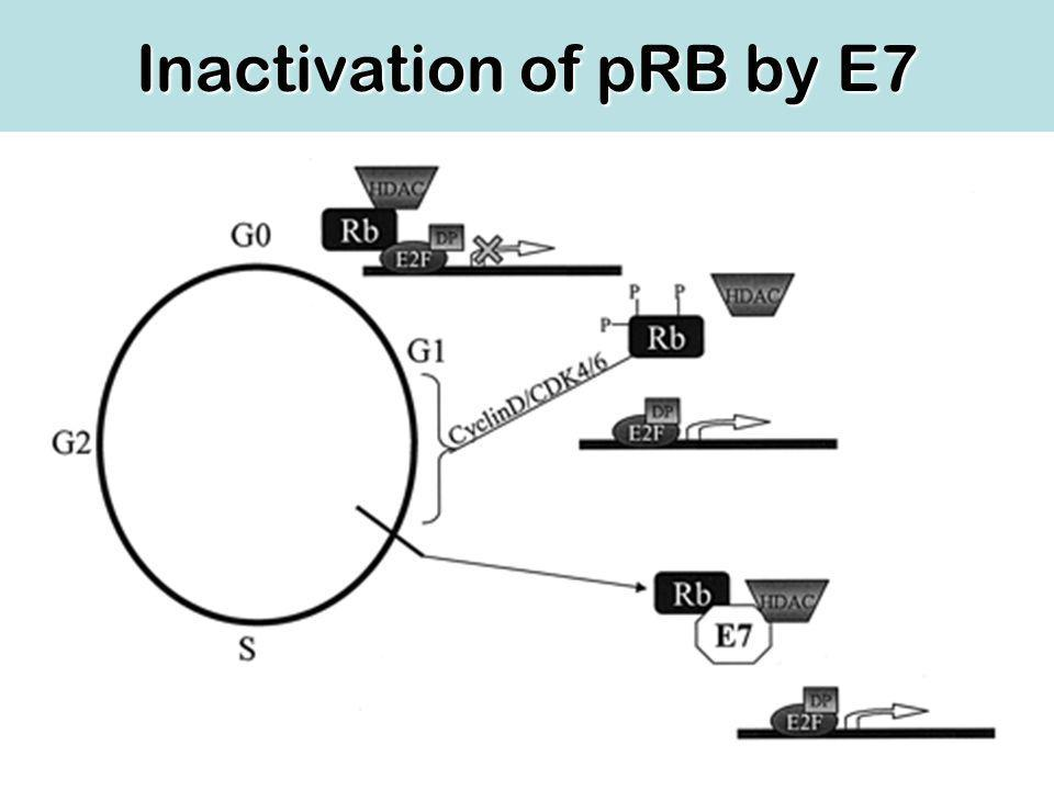 Inactivation of pRB by E7