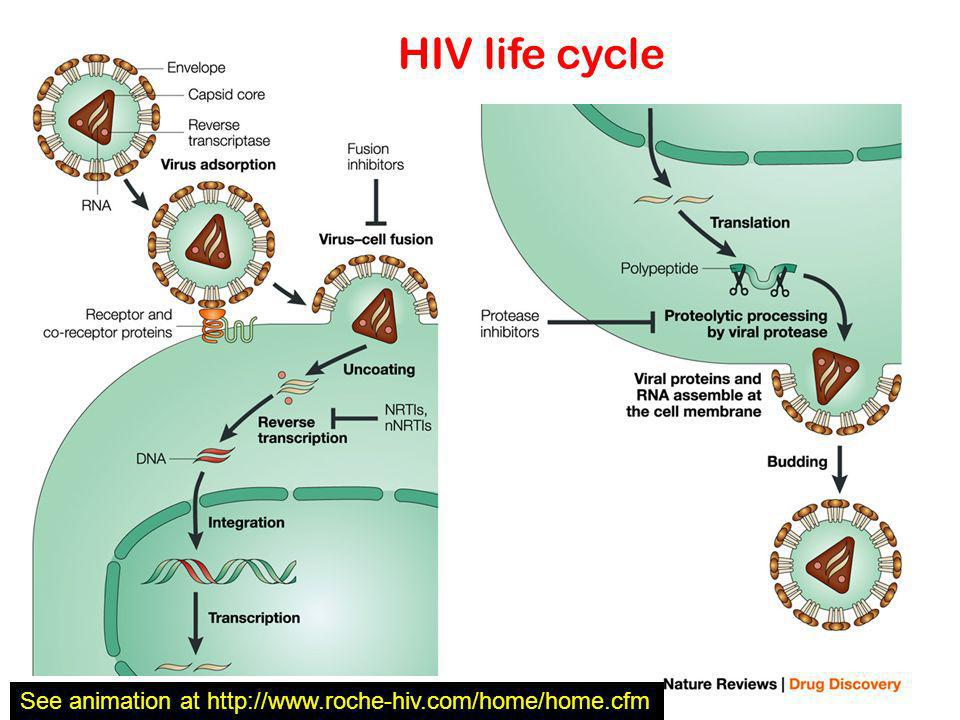 HIV life cycle See animation at http://www.roche-hiv.com/home/home.cfm