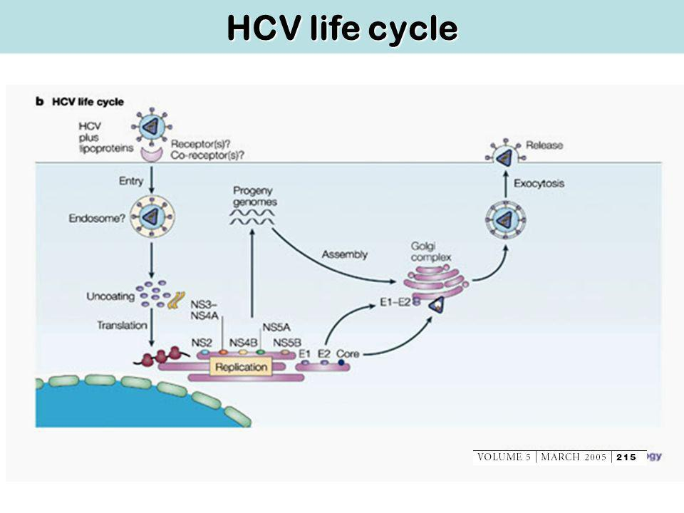 HCV life cycle