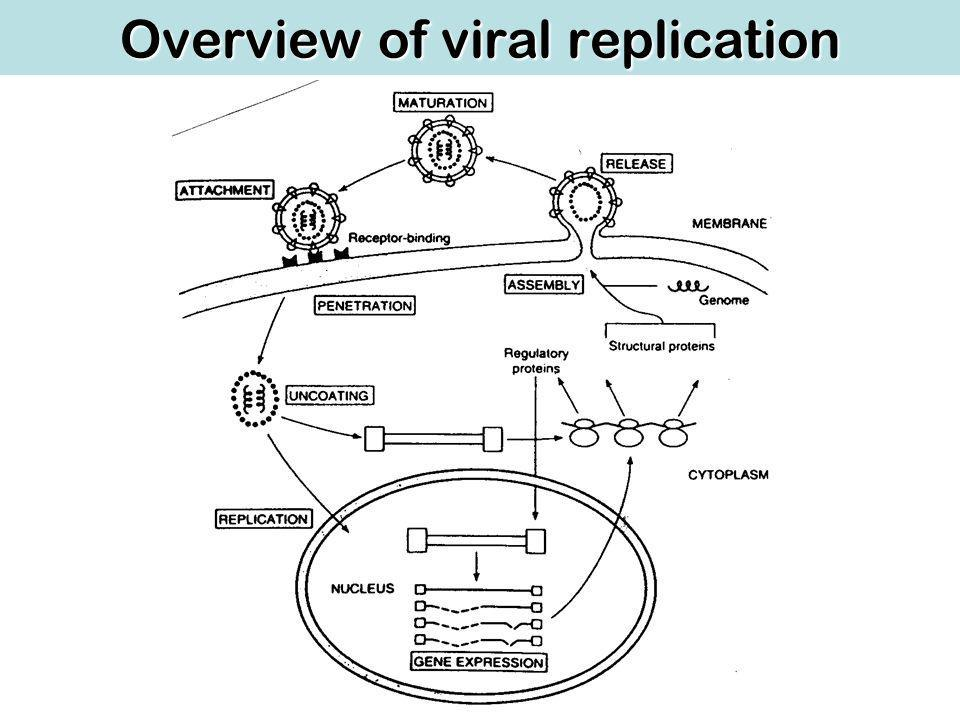 Overview of viral replication