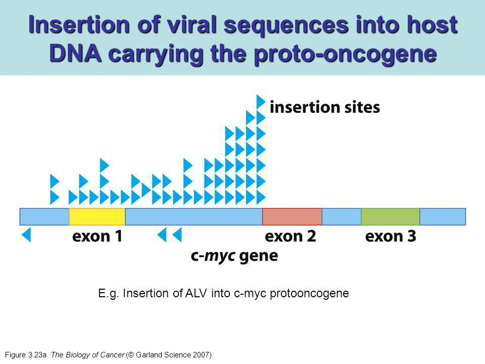 Insertion of viral sequences into host DNA carrying the proto-oncogene