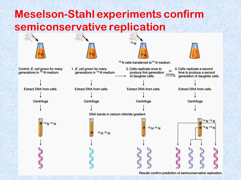 Meselson-Stahl experiments confirm semiconservative replication