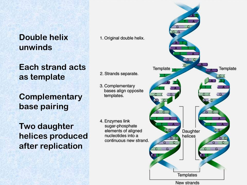 Each strand acts as template