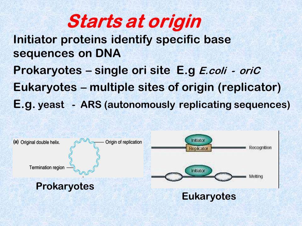 Starts at origin Initiator proteins identify specific base sequences on DNA. Prokaryotes – single ori site E.g E.coli - oriC.
