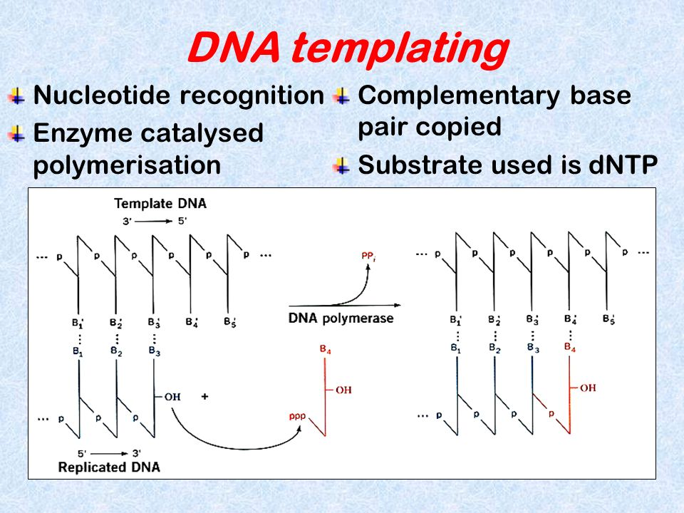 DNA templating Nucleotide recognition Enzyme catalysed polymerisation