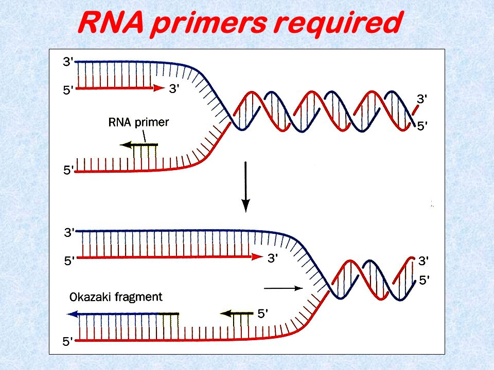 RNA primers required