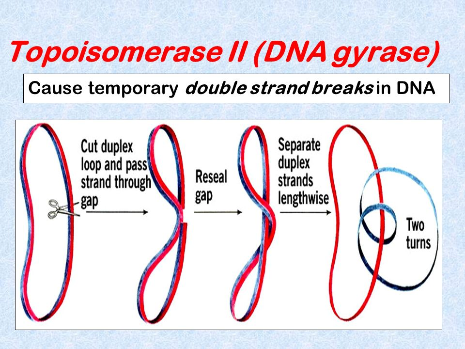 Topoisomerase II (DNA gyrase)