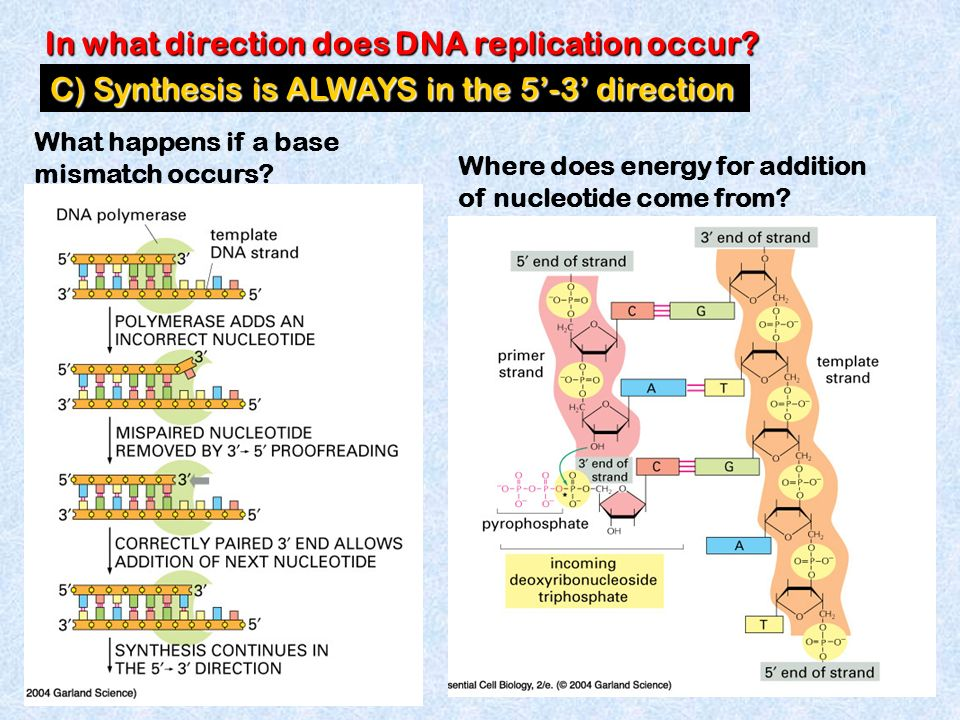what is a template in dna - dna replication understand the basic rules governing dna