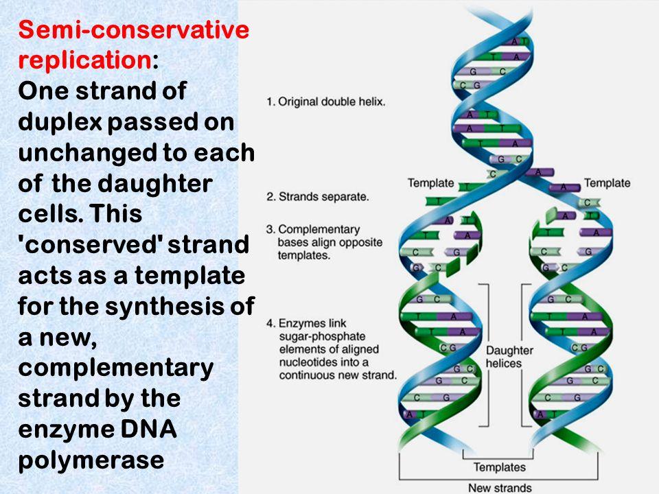 Semi-conservative replication: