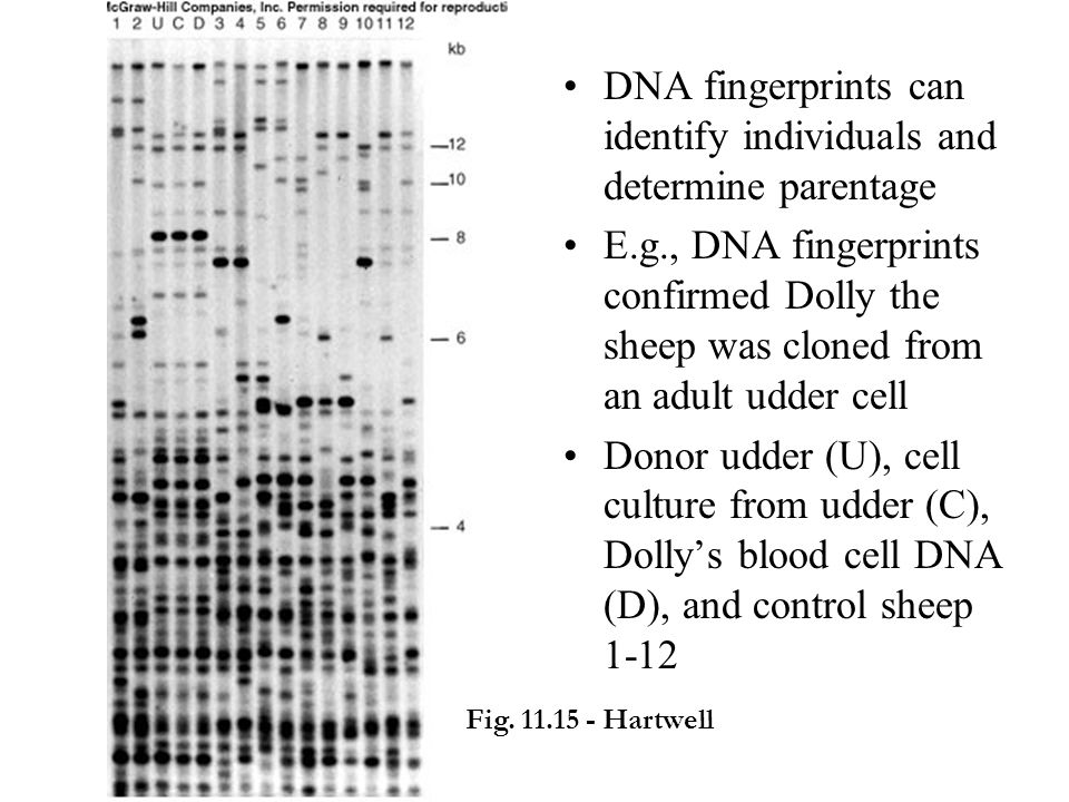 DNA fingerprints can identify individuals and determine parentage