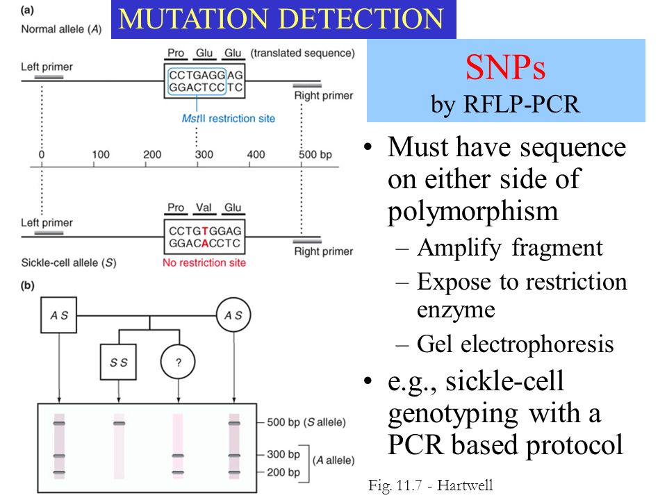 SNPs by RFLP-PCR MUTATION DETECTION