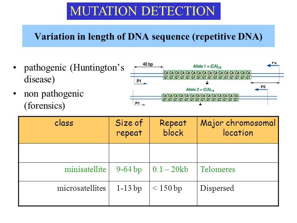 Variation in length of DNA sequence (repetitive DNA)