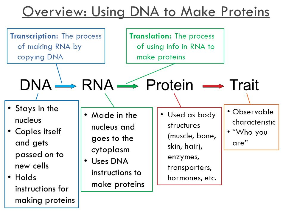 relationship between protein dna and cells