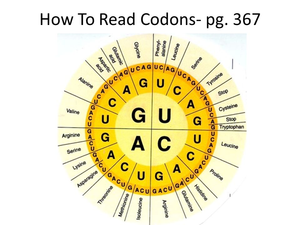 How To Read Codons- pg. 367
