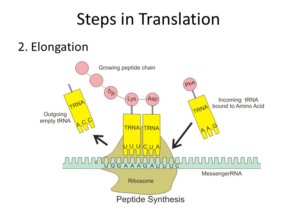RNA and Protein Synthesis - ppt download