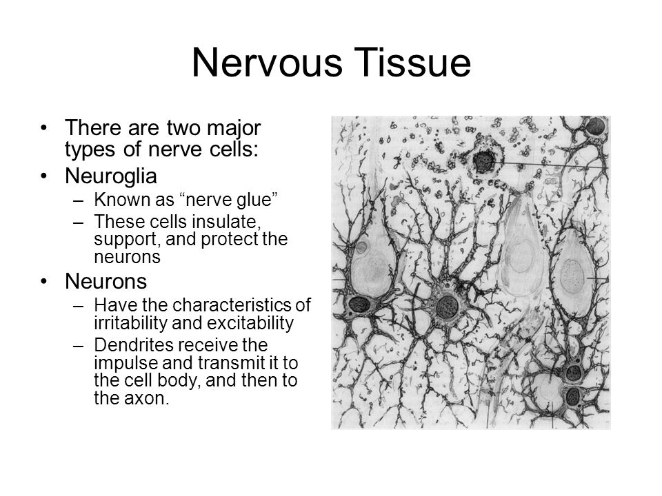 Central Nervous System Ppt Download